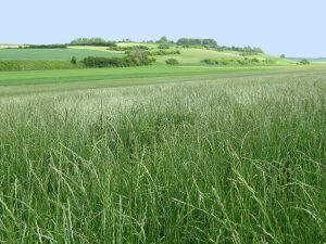 ray-grass anglais