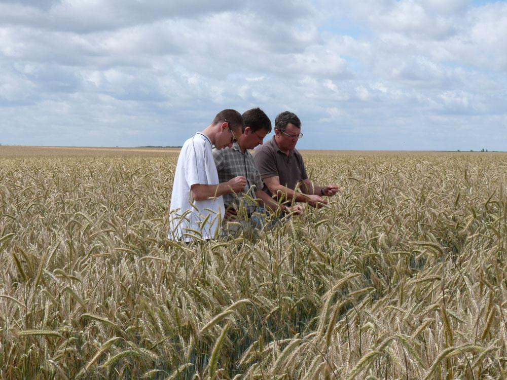 Multiplication de semences de blé