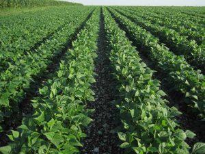 Multiplication de semences d'haricot