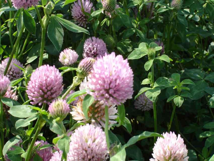 Multiplication de semences de trèfle violet